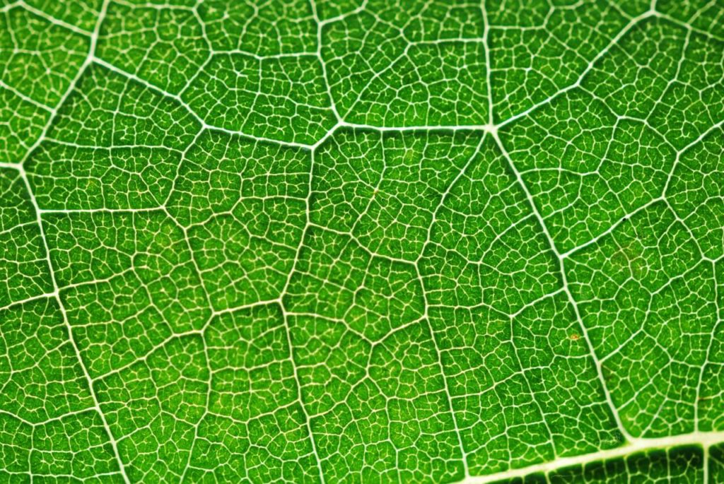photosynthesis leaf close up